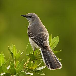 44768-multi_mockingbird
