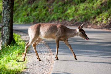 Deer crossing the street. Photo credit johnhayesphotography.wordpress.com