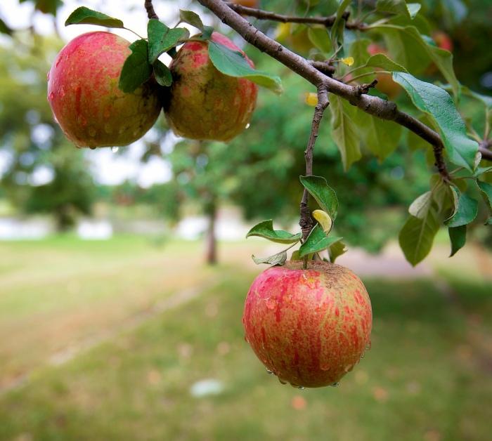 lowhanging apple