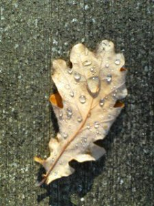 fallen-bel-leaf-with-rain-drops