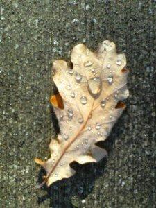 fallen-bel-leaf-with-rain-drops